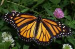 640px-Monarch_In_May